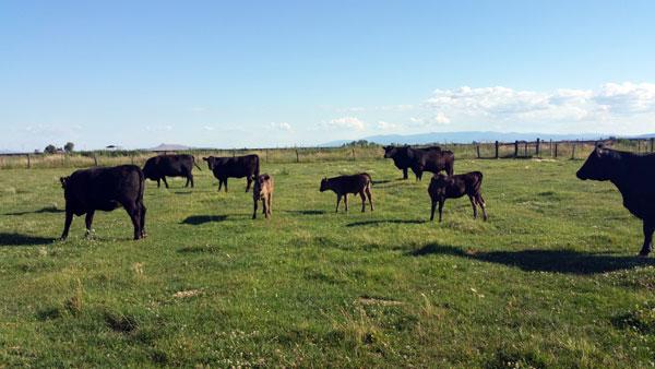 Wagyu cows at Askew Farms